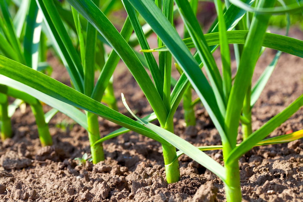 when to harvest garlic planted in fall
