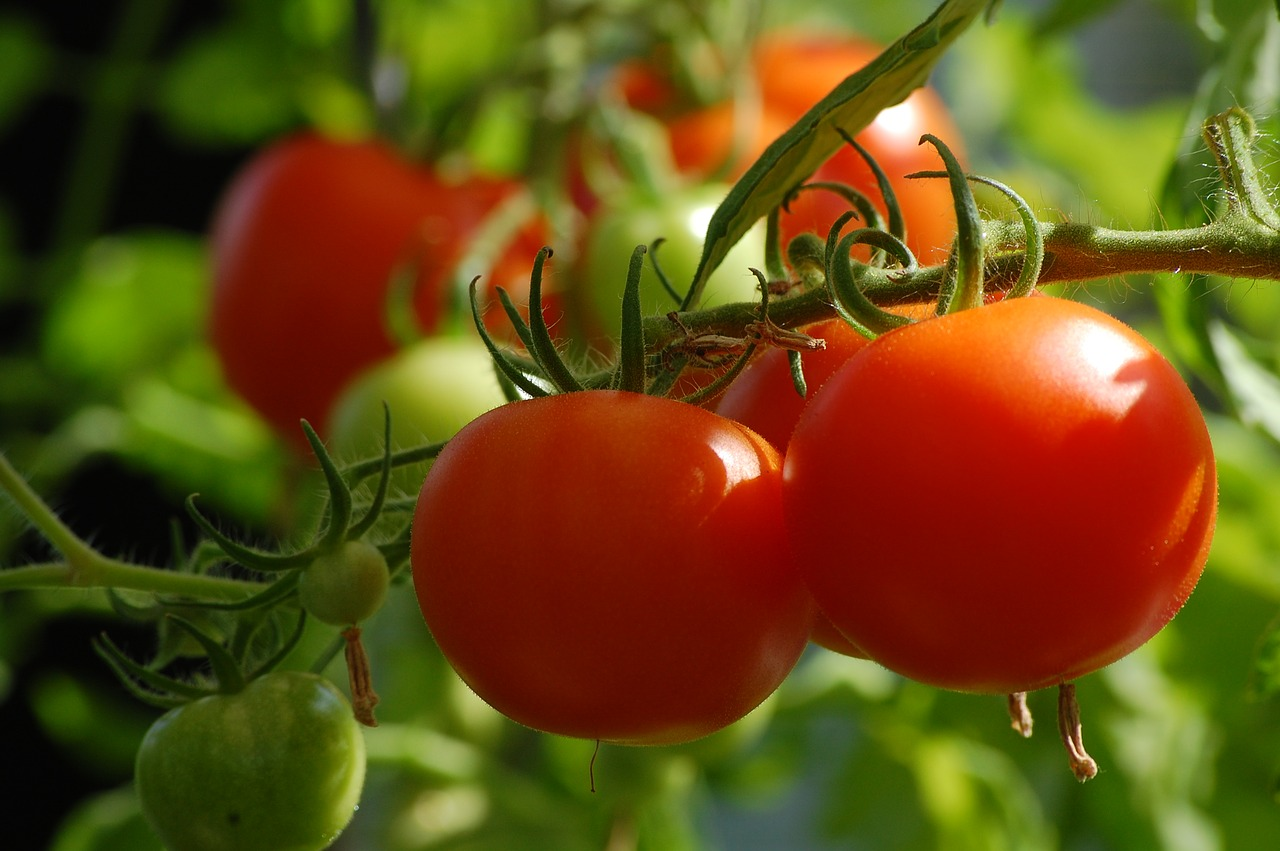 best determinate tomatoes for containers