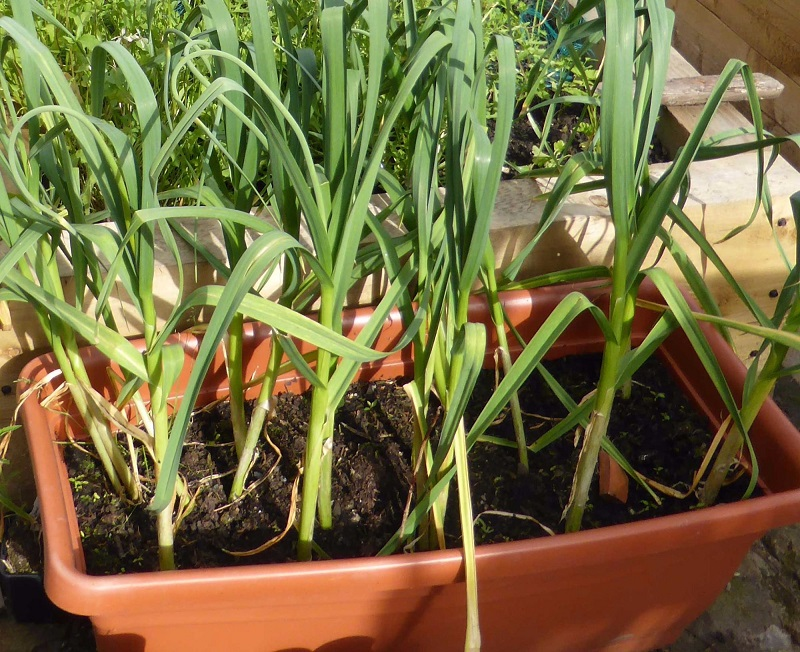 can i grow garlic in pots