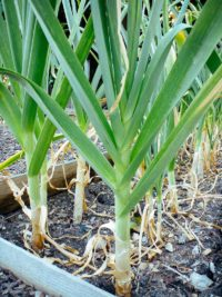how do you know when to pick garlic