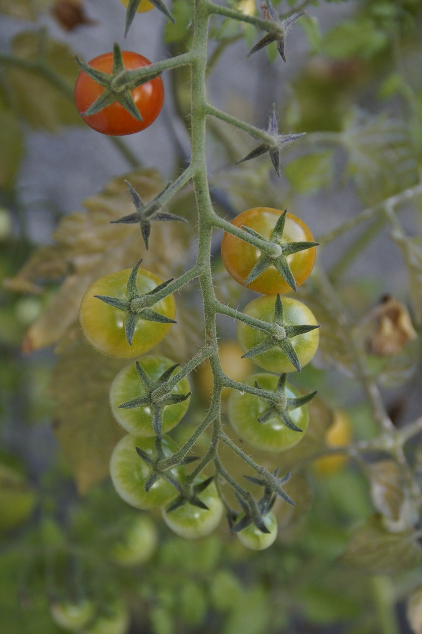 how often to water tomatoes in raised bed